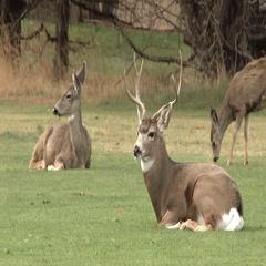 Family Of Deer In Meadow Stock Footage