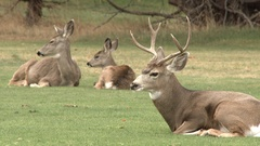 A Family Of White Tailed Mule Deer Stock Footage