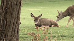 Two white tailed mule deer give each other a little kiss in the wilderness. Stock Footage