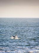 Whale Tail on Horizon  Stock Photos