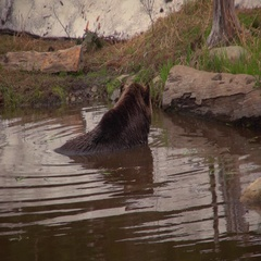 46 - 51. Large, brown, grizzly bear sitting and relaxing in the water Stock Footage