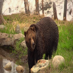 Large, brown grizzly bear standing and looking by the shoreline Stock Footage