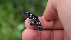 Nine-spotted moth butterfly on human hand Stock Footage