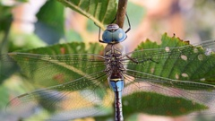 Big dragonfly on green tree foliage Stock Footage