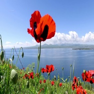 Red poppies on hills at the lake Sevan. Armenia Stock Footage