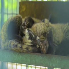 Civet sleeps in a cage on the coffee plantation Stock Footage