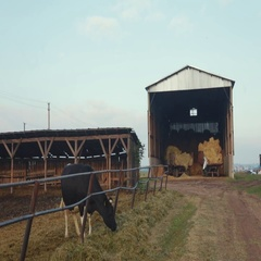 A black-white cow in the enclosure is grazing grass, a huge barn with large Stock Footage