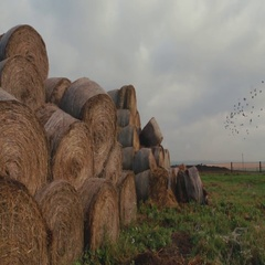 Big haystacks in the lonely field, birds flock flying over it. Farming Stock Footage