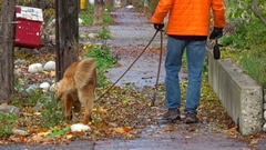 Man and dog walking down sidewalk, autumn, dogs urinates on post Stock Footage