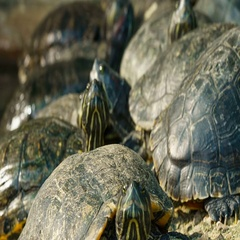 Close up of red eared slider turtle, Time lapse Stock Footage