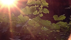 Sunset Backlit Flies against Sunflares Stock Footage