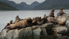 Rookery Steller sea lions. Island in Pacific Ocean near Kamchatka Peninsula Stock Footage