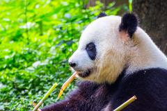 Giant panda bear (Ailuropoda melanoleuca) sitting and eating fresh bamboo Stock Photos