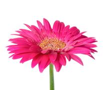 Large pink flower gerbera of stalk is isolated on white Stock Photos