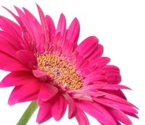 Pink flower gerbera of stalk is isolated on white background, Stock Photos