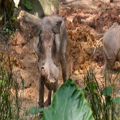 Wild Pigs or Boars with Fangs in Zoo Stock Footage