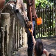 Girl Feeding Giraffe with Carrot at Zoo Stock Footage