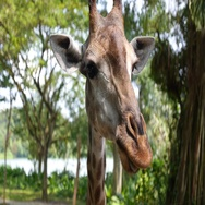 Head of Giraffe Chewing Outdoors Stock Footage