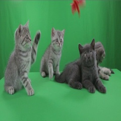 Beautiful little kittens Scottish Fold on Green Screen stock footage video Stock Footage