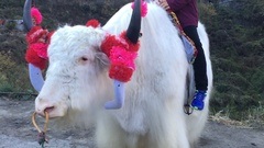 Yak or grunting ox closeup Stock Footage