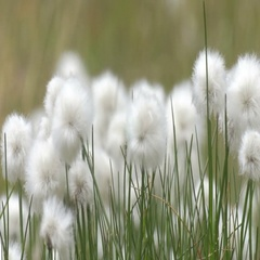 Cotton grass in the wind Stock Footage