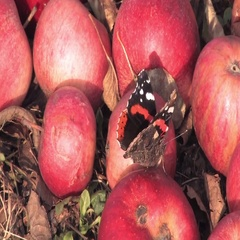 Apples and buterfly Stock Footage