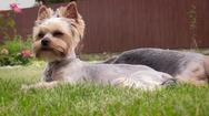 Yorkshire terriers Stock Footage