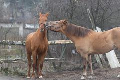 Horses playing with each other on a farmstead. Stock Photos