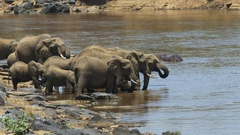 Zoom in shot of elephants drinking from the mara river Stock Footage