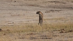 Cheetah relaxing in the sun (Hwange NP, Zimbabwe) Stock Footage