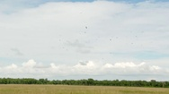 Diversity of Vultures in flight above Savannah, with tree-line on horizon and Stock Footage