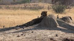 Cheetah sitting unter a tree (Hwange NP, Zimbabwe, 4K) Stock Footage
