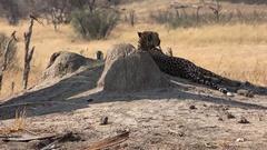 Cheetah (Hwange National Park, Zimbabwe) as 4K footage Stock Footage