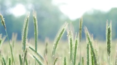 Rye Closeup - Agriculture Grain Stock Footage