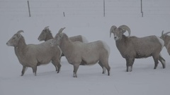 Two mountain goats searching for food in the snow, Colorado Stock Footage