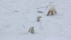 Polar bear at North pole (86 degrees). Family of bears Stock Footage