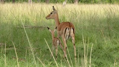 Impala  (Aepyceros melampus) licking her just born fawn Stock Footage