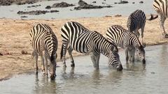 Group of Zebras in Hwange NP, Zimbabwe (4K) Stock Footage