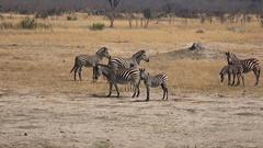 Zebras in Hwange National Park (Zimbabwe) Stock Footage