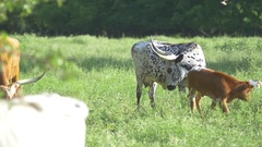 Herd of longhorn steer grazing in the field Stock Footage