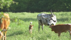 Calf running in between while herd of longhorn steer grazing in the field Stock Footage