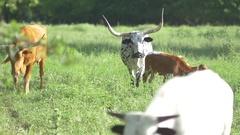 Herd of longhorn steer grazing on green landscape Stock Footage