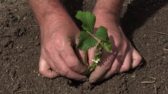 Agriculture Worker Hands Planting in Garden Soil a Small Bio Strawberry Plant. Stock Footage