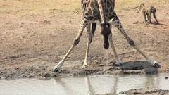 Drinking Giraffe in Hwange National Park (Zimbabwe) Stock Footage