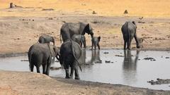Herd of Elephants at a waterhole (Hwange NP, Zimbabwe) Stock Footage