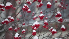 Bunches of red mountain ash covered with snow Stock Footage