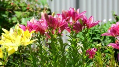 Many yellow and pink lilies bloom in flowerbed Stock Footage