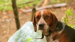 Brown hunting dog Stock Footage
