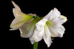 White amaryllis Stock Photos