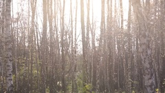 Birch tree forest on a sunny day, beautiful relaxing landscape, divine nature Stock Footage